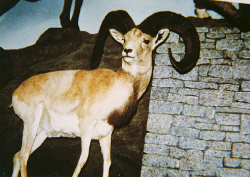 Рекордный трофей керманского барана, добытый Matt Zonailo в Иране. Фото www.scirecordbook.org