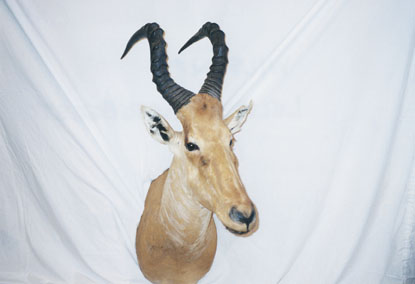 Sample Photo for Lelwel Hartebeest