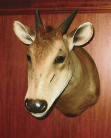 Sample Photo for Yellow-backed Duiker
