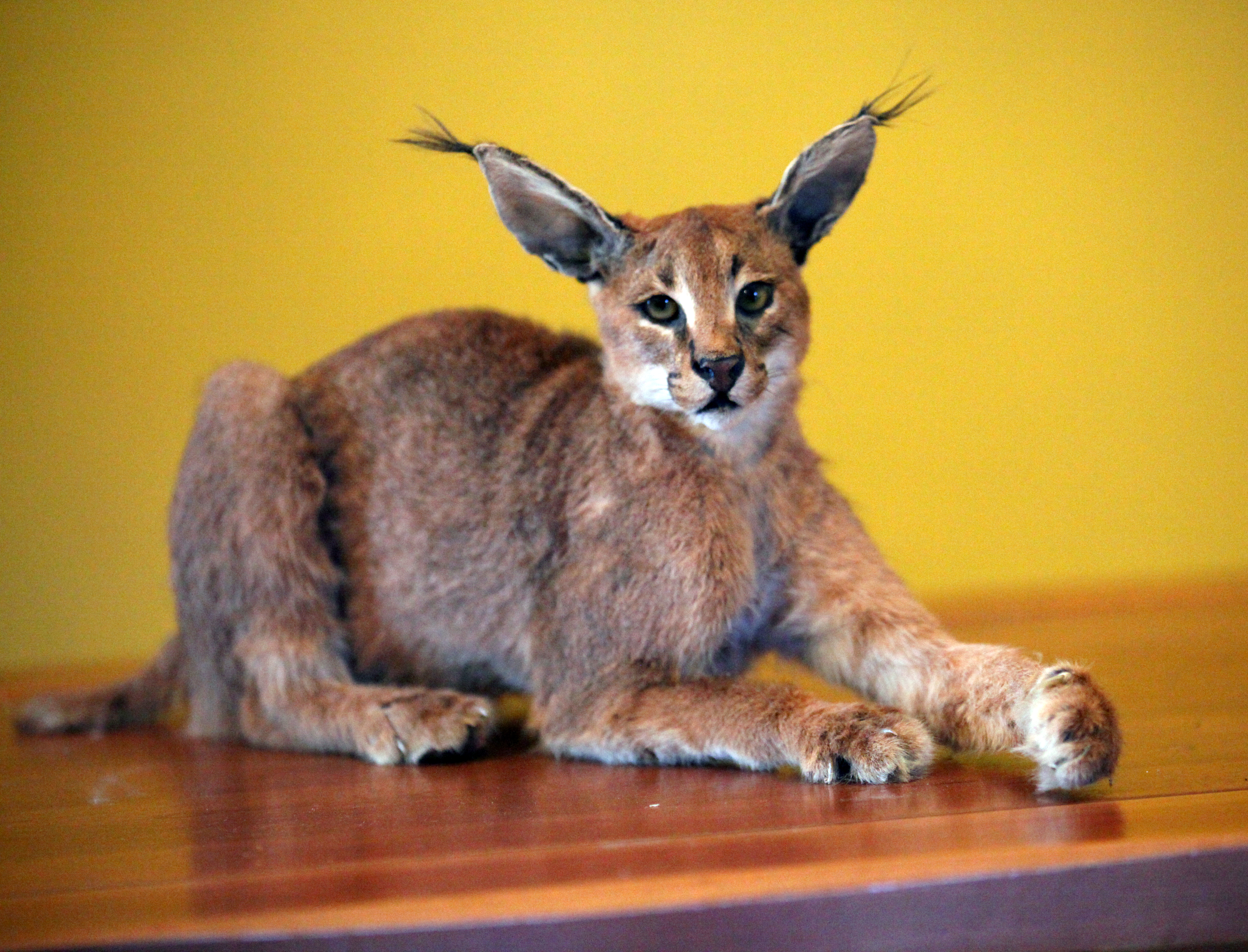 Sample Photo for Caracal