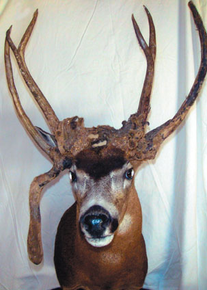 Sample Photo for Columbia Black-tailed Deer (non-typical)