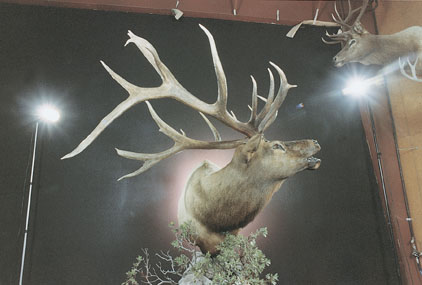 Sample Photo for Rocky Mountain Elk (non-typical)