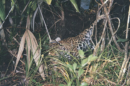 Sample Photo for Jaguar (darted)