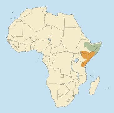 Northern Gerenuk