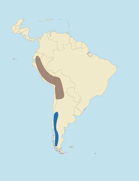 Peruvian Huemul or Taruca