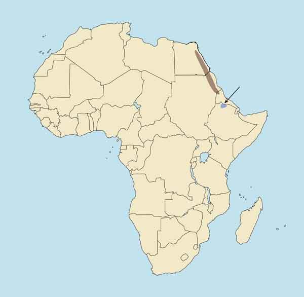 Walia or Abyssinian Ibex