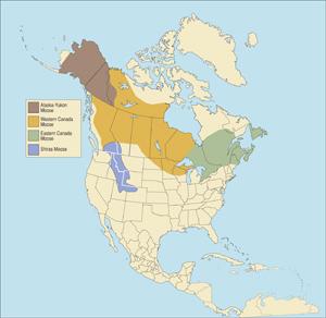 Eastern Canada Moose (free range)