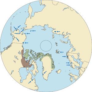 Greenland Muskox
