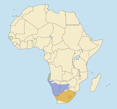 Angolan Springbok